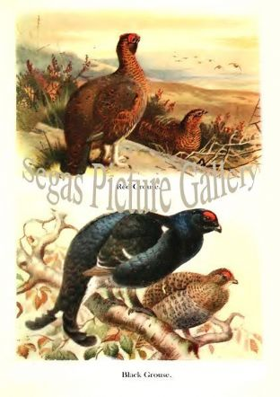 Red Grouse & Black Grouse